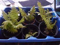 Garden ferns.
