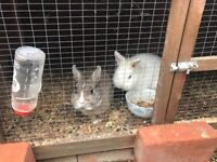 Pair of rabbit white and gray with cage and food
