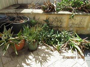 GONE PENDING COLLECTIONAloe Vera and also Spikey Succulent/Cactus Cannington Canning Area Preview
