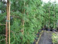 8FT plus Leylandii hedging plants in green . Good Quality. Ready now to plant free delivery