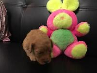 Toy Cockapoo puppies f1