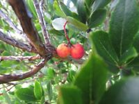 Strawberry Tree in excellent healthy condition