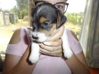 Jack russell pups for sale £325.00. Ready to go now, chipped and wormed.Mother can be seen.