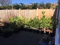 Laurel Bushes £5 each