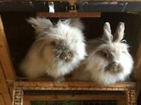 Double mane Lionhead rabbits (brother and sister)