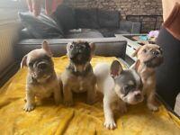 French Bulldog Stunning 4 puppies 5 Generation + KC Registered