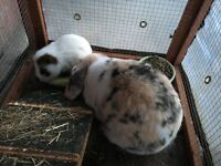 Rabbit and guinea pig free to a loving home, with hutch if required