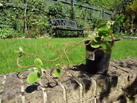 Kiwi vine plants for sale