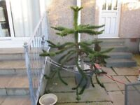 Monkey puzzle tree for sale 5 feet