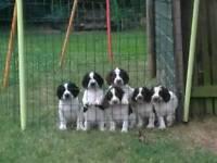Sprocker pups