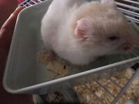 Free Syrian Hamsters for good home, 11 weeks old girl & boy, only 2 left
