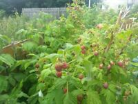 Summer fruiting raspberry plants for sale