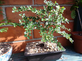 Very pretty Bonsai Cotoneaster grown on for several years
