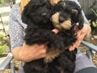 schnoodle puppies for sale. 3girl 3boy. dad-poodle mum-Schnauzer