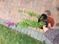 Perennial Lythrum plant for the garden £3 each