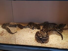 Male and female royal python
