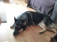 German Shepard looking for a part time or full time home