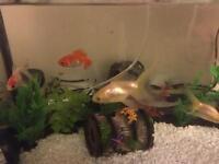 X4 Fancy Goldfish