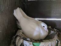White pigeon for sale