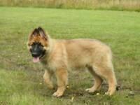9 month old German shepherd