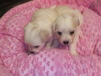 Chalkie pups