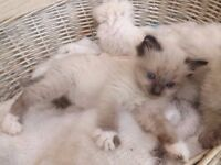 Gorgeous Ragdoll Kittens last one Ready Now