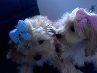 F1b Cavapoo Puppies (PRA clear)