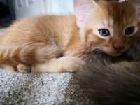 Beautiful ginger boy kitten