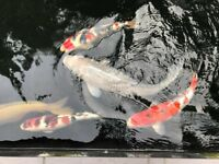 Koi carp - different varieties