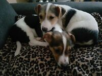Beautiful Jack Russell Terier Puppies for sale. Boy And girl 10 weeks old and ready to go.