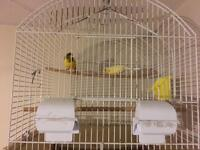 Pair of canaries for sale