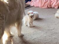 Full Ragdoll cute kittens