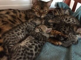 Bengal kittens for sale.