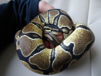 Ball Python / Royal Python (Python regalis) and vivarium