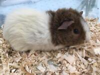 Gorgeous female baby Guinea Pig