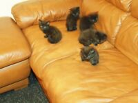 Black Siberian kittens - 2 left (boy and girl)