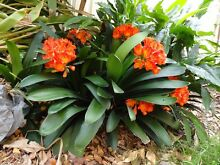 Clivia plants for sale Metford Maitland Area Preview
