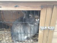 MALE RABBIT AND DOUBLE HUTCH