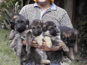 German Shepherd Purebred Working Line Puppies Research Nillumbik Area Preview