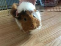 Two 6 month old guinea pigs