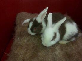 3 baby lop rabbit