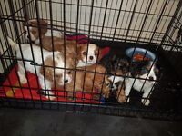 Cavalier King Charles Full Pedigree Pups £250 ready 10th August