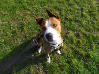 Lively Staffordshire Bull Terrier Crossbreed