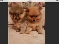 Puppy looking for good home. Pomeranian. 400 East london