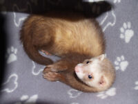 4 LOVING WELL HANDLED FEMALE FERRETS FOR SALE SILVER COLOR/POLE