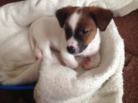 Jack Russell puppy (boy)