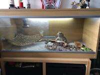 Male bearded dragon with vivarium
