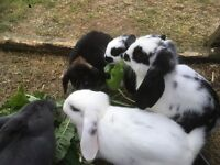 Lop eared rabbits free to kind and caring homes