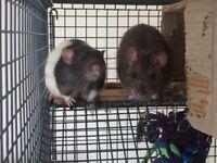 2 boy pet rats!