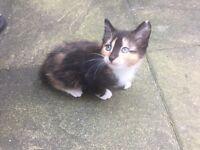 8 week old female kitten. Quarter ragdoll